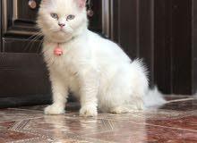 قطه شيرازية للبيع ب 30 ريال.