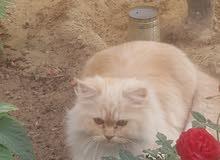 قط شيرازي جميل جدا ونضيف للجادين فقط