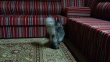 للبيع ذكر وأنثى قطط شيرازي