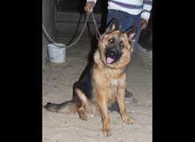 كلب الماني صغير يبلغ 60يوم