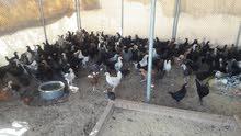 للبيع  دجاج عمنايته العمر 3 شهور و 15 يوم السعر حبه ريال 1و 500 بيسه