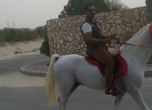 سايس خيل يبحث عن عمل يمني الجنسبيه خبره لاتقل عن ثمان سنوات عنايه كامله