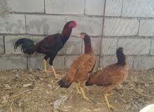 دجاج هندي مخاليف