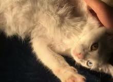 قطة انثى angora ثلاث شهور