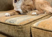 كلب شيواوى أوكراني اصلي