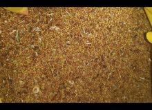 للبيع بذر قت  عماني