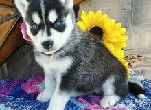 Siberian husky puppies for good homes this Christmas