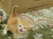 قطط ولادة البحرين للبيع باعمار مختلفه