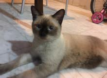 Siamese cat pure male 6 months very friendly good healthy.