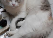 مطلوب قط شيرازى بيور للتزاوج من يملك القط رجاءالتواصل