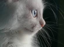 قطط للبيع حنزيد صور اوضح اول ماتساعد التغطية تابع/ي الاعلان