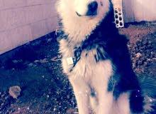 كلب هاسكي اصلي لبيع