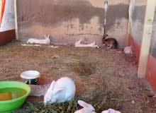 أرانب هولندية للبيع