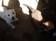 ثلاث كلاب