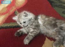 قطه جميله للبيع انثى