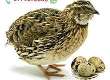 فري (( السمان )) + بيض للبيع