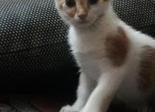 قطة امريكي للبيع في المدينة المنورة