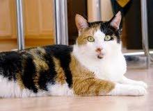 محتاجة قطة للتبني نفس اللي بالصورة مجانا