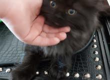 قط شيرازى