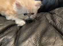 قطط شيرازي كتن بكي فيس بيور