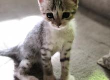 قطط ( لون الابيض ذكر و البني انثى )