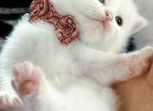 إناثث/ذكور شيرازي Persian cat