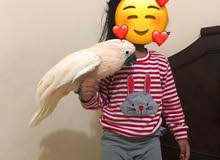 Moluccan Cockatoo 9-10 Months King Size