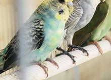طيور باجي 2 زوج منتج