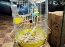طيور حب زوج مع البيض والقفص