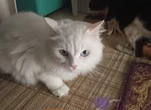 قط أنثى أليفة للتبني العمر تقريباً سنة