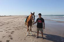 عدد (2) حصان للبيع ب (1550)