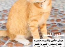 قطط نصف شيرازيه للبيع cats for sale