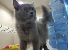 لبيع  قطط