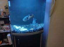 buyo tl540 with stand and 2 big Oscar fish for sale