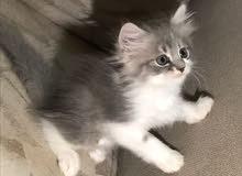 قطط شيرازيه شعر كثيف وطويل