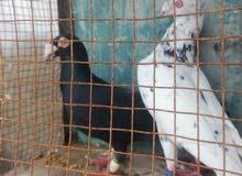 طيور حمام للبيع