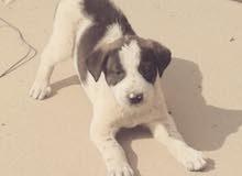 كلب بوينتر