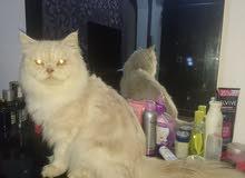 قط ذكر Male cat
