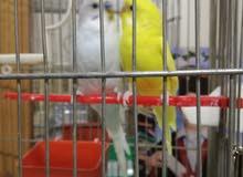 جوز طيور حب نخب