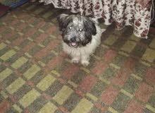 كلب نتايه جريفون
