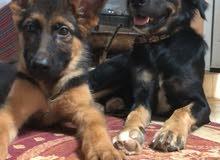 مطلوب مندوب توصيل كلاب من الشارقه الى راس الخيمه