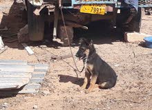 كلب ولف المنيا عمره شهرين