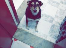 كلب مكس دوبرمان