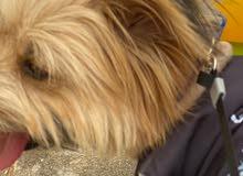 كلب يورك / yorkie dog