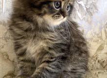 pure scotch fold kitten for sale