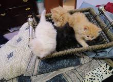 قطط شرازي نظيف جدا العمر 1 شهر و نصف