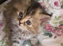 قطة انثى 40 يوم