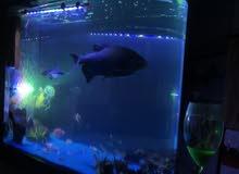 سمكة بيرانا كبيرة جداً تقريباً حجمها 40 سم