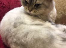 قط شيرازي للبيع عمره سنة ونصف الجنس إنثى تحب اللعب