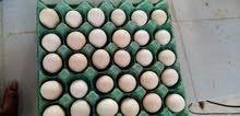 بيض محلي